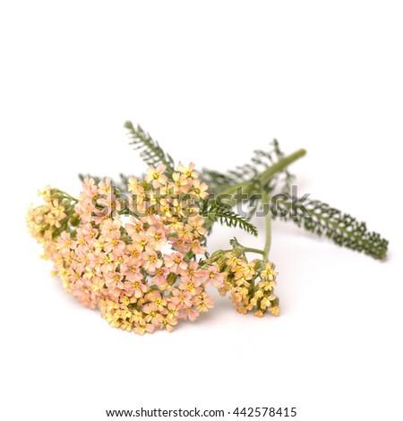 Yarrow (Achillea millefolium) on white background - stock photo