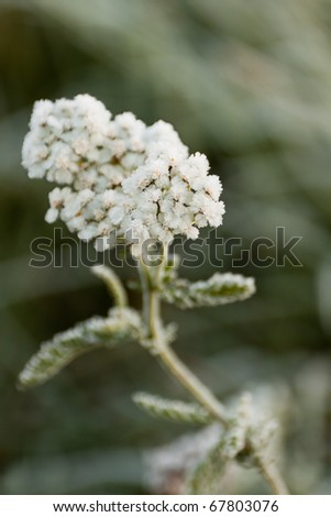 Yarrow frozen with ice crystals - stock photo