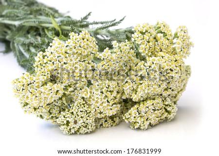 Yarrow herb ( Achillea millefolium ) - close up - stock photo