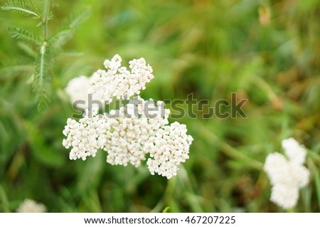 Yarrow plant with small white flowers