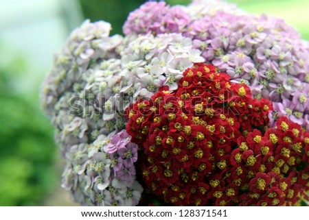 Yarrow, red, white and pink