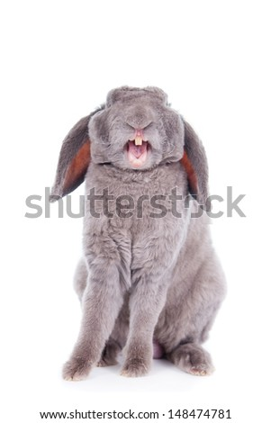 Yawn Grey lop-eared rabbit rex breed isolated on white - stock photo