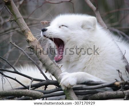 Yawning arctic fox  - stock photo