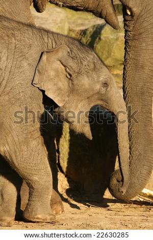 Yawning baby elephant - stock photo