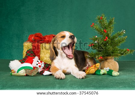 Yawning Beagle puppy with christmas tree, present and toys on green background