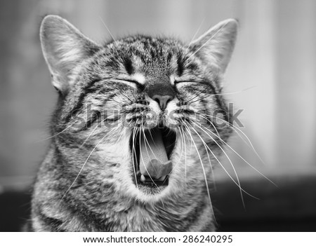 Yawning cat close up in blur background, sleepy cat, grey big cat, funny cat in domestic background, siesta time, relaxing cat, curious cat, cat with open mouth - stock photo