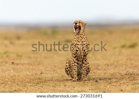 Yawning Cheetah in the savannah of the Masai Mara, Kenya - stock photo
