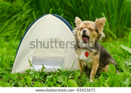 Yawning chihuahua dog sitting near camping tent at sunny meadow - stock photo