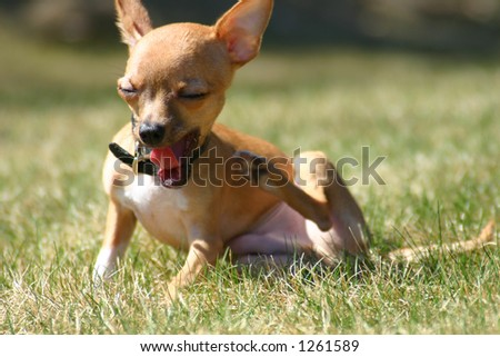 Yawning chihuahua puppy dog, with selective focus on face and tongue - stock photo