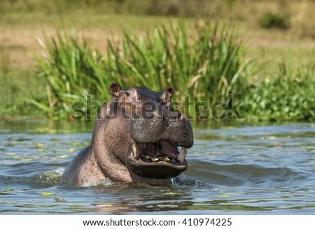 Yawning common hippopotamus in the water. Africa - stock photo