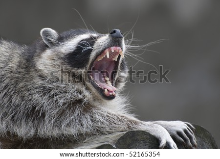 yawning common raccoon - stock photo