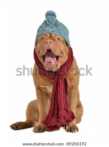 Yawning dog with winter clothes - stock photo