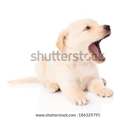 yawning golden retriever puppy dog. isolated on white background - stock photo