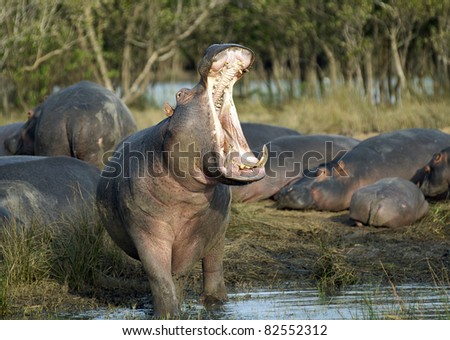 Yawning hippo entering the water - stock photo