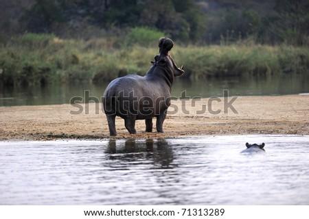 Yawning Hippo on the bank of Zambezi River - stock photo