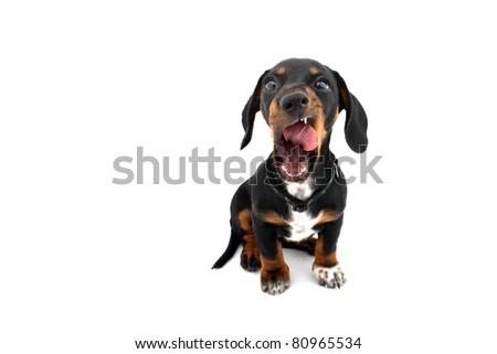 Yawning licking Dachshund dog - stock photo