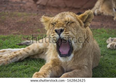 Yawning Lion Cub With Eyes Closed - stock photo
