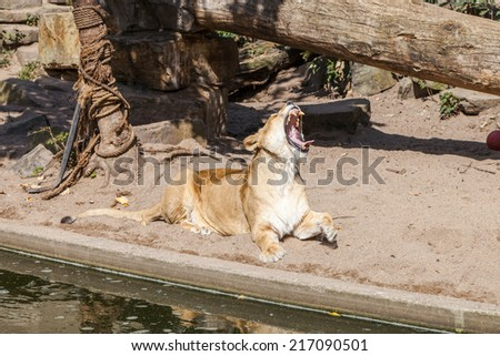 Yawning Lioness - stock photo