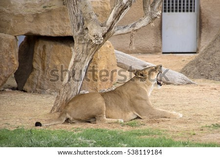stock-photo-yawning-lioness-in-riyadh-zo