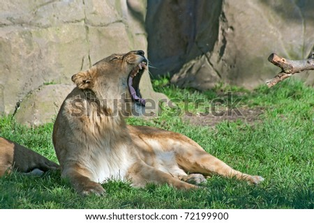 Yawning lioness (P. Leo) - stock photo