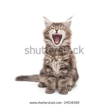 yawning maine coon kitten against white background - stock photo