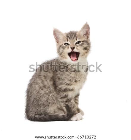 Yawning small grey  kitten isolated on white background - stock photo