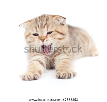 Yawning striped Scottish kitten lying isolated - stock photo
