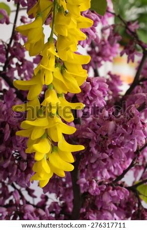 Yellow acacia and cercis siliquastrum - stock photo