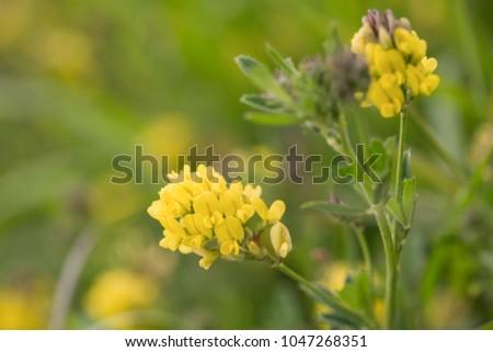 Yellow alfalfa flowers medicago sativa subsp stock photo royalty yellow alfalfa flowers medicago sativa subsp falcata family mightylinksfo