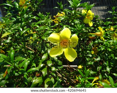 Yellow Allamanda cathartica flowers blooming during Summer in Thailand. - stock photo