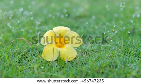 yellow allamanda on green grass floor - stock photo