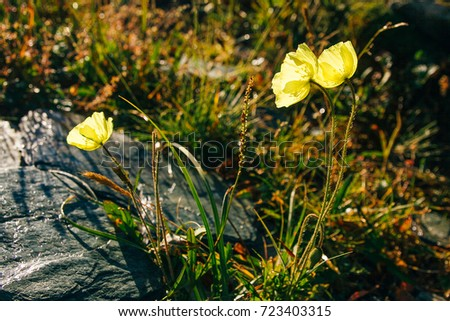Yellow Alpine poppies in the Altai mountains