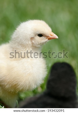 Yellow and black chicken in green grass - stock photo