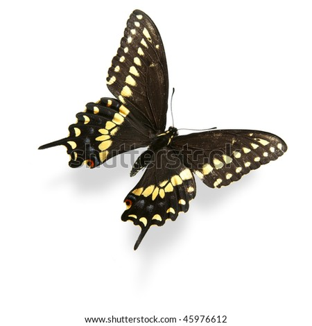 Yellow and black swallowtail butterfly isolated on white. Critical focus on wing texture. - stock photo