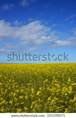 yellow and green field with blue sky