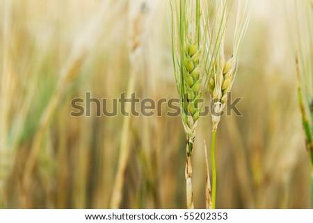 Yellow and green wheat stem closeup photo - stock photo