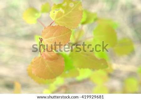 yellow and green young leaves of an aspen grow on a branch - stock photo