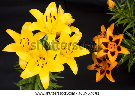Yellow and mottled orange asian lily flowers on black background - stock photo