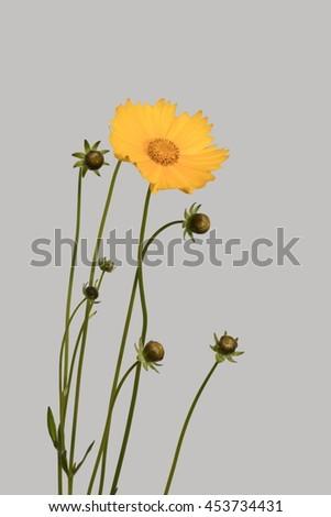 yellow and orange flowers, inflorescence buttercups on a thin stem, bouquet of flowers and buds. - stock photo