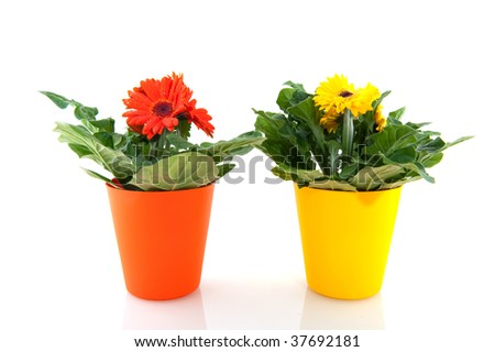 Yellow and orange Gerber in flower pots isolated over white