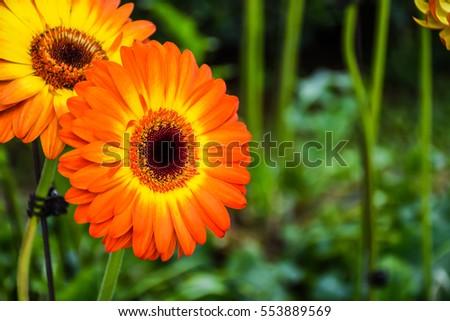 Gerbera stock photos royalty free images vectors for Flowers that mean life
