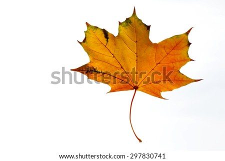 Yellow and orange maple leaf on a white background closeup - stock photo