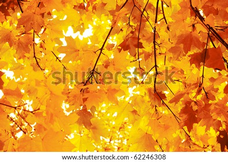 Yellow and orange maple leaves in autumn forest, selective focus. - stock photo