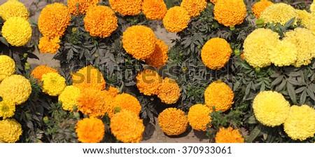 Yellow and orange marigolds - stock photo