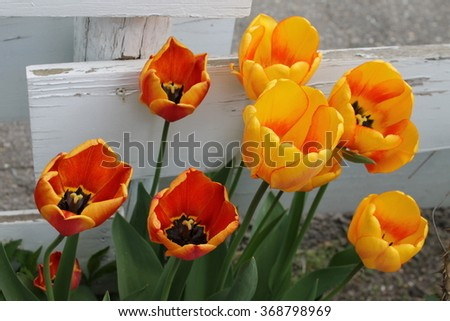 Yellow and orange tulips - stock photo