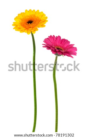 yellow and pink gerber on a white background - stock photo