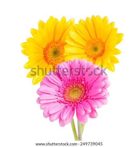 yellow and pink gerbera isolated on white background