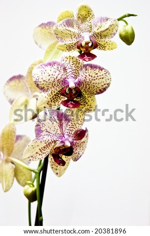 yellow and pink orchid on white