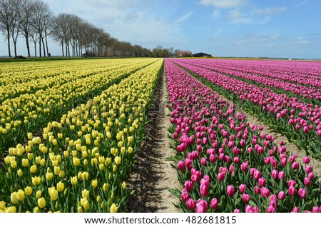 Yellow and pink tulip fields
