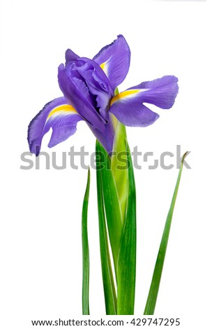 Yellow and purple iris flower isolated on white background